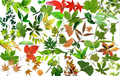 Many leaves of Maple Leaf Chinese Restaurant the source