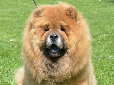 chow chow puppy for sale odyssey chow chow puppy for sale puppy