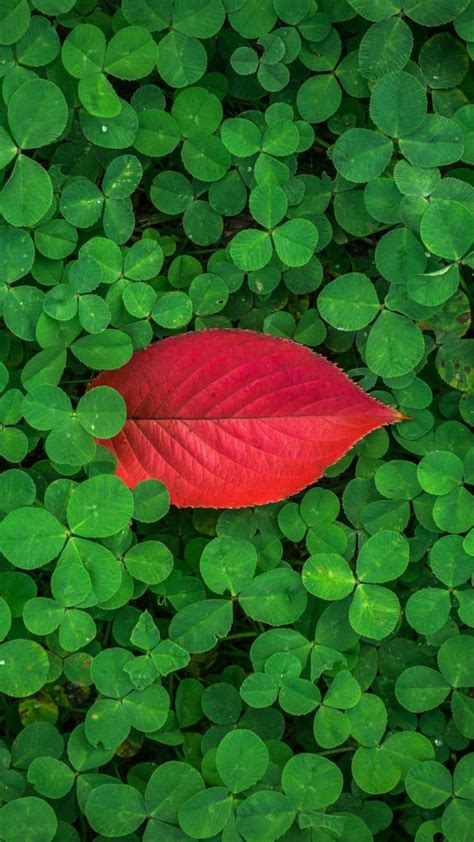 clover leaves plant green wallpaper