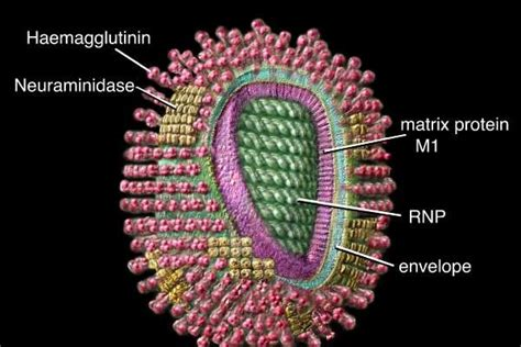 pengertian  penjelasan tentang virus influenza