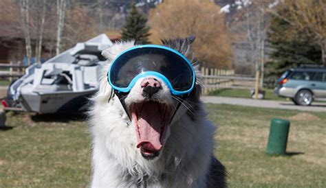 goggles for dogs rex specs are goggles for dogs and yes they actually exist the inertia