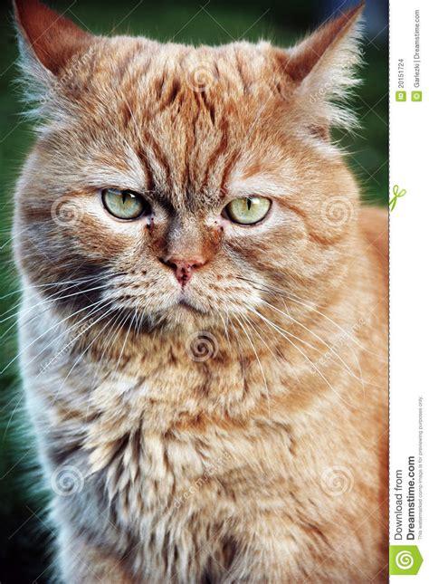 gatti persiani gratis gatto arancione persiano immagini stock immagine 20151724