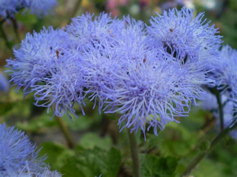 Blue Flowers For Garden Ageratum Auntie Dogma S Garden Spot