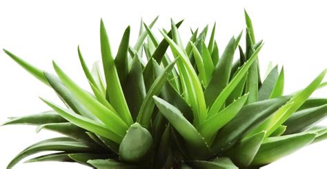 Aloevera The Herb by Food Supplements And Vitamins Aloe Vera Healthy Posts