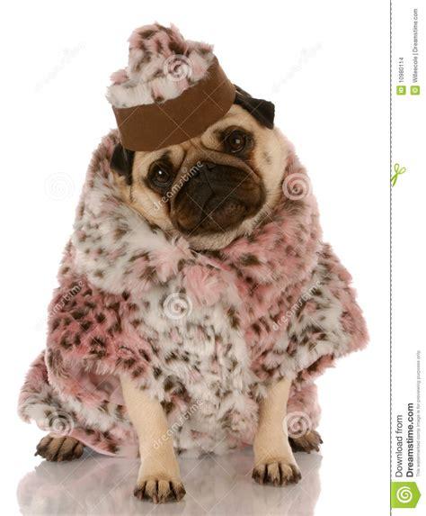 pug fur coat dressed in fur coat and hat stock images image 10980114