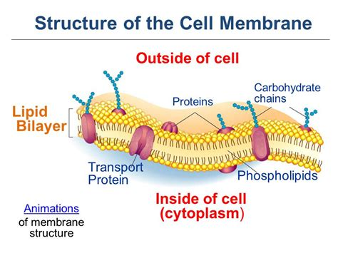 4 proteins in cell membrane the cell membrane ppt