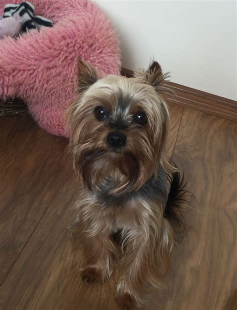 yorkie studs terrier for stud northton northtonshire pets4homes