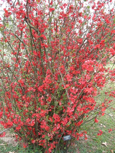 new year flower quince plant guide chaenomeles speciosa spitfire