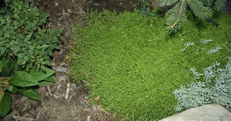 sherri s garden shovel ground cover ice plant