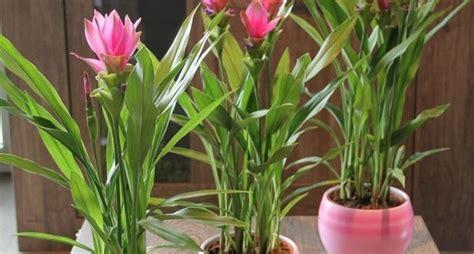 fiore curcuma curcuma curcuma alismatifolia curcuma alismatifolia