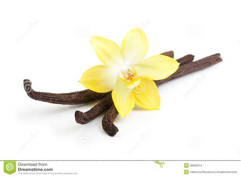 fiore della vaniglia baccelli e fiore della vaniglia isolati immagini stock