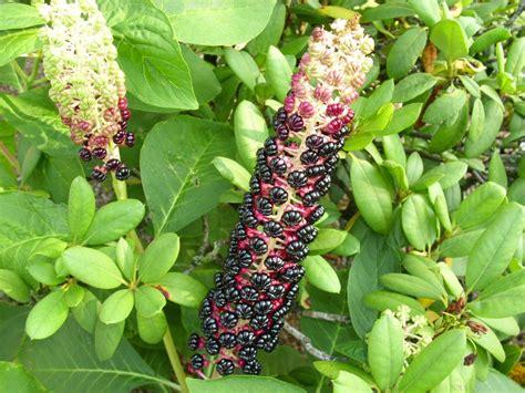 was ist das f 252 r eine pflanze giftig garten pflanze