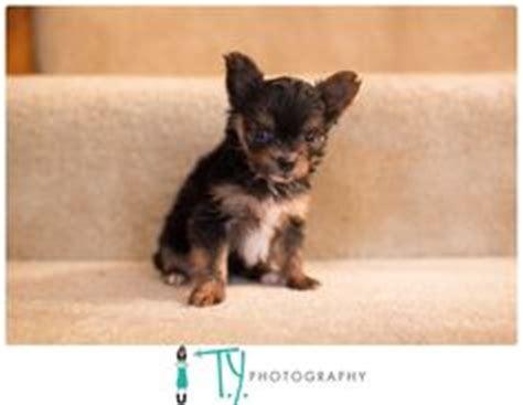 raising yorkie puppies corkie on yorkie chihuahuas and chihuahua mix