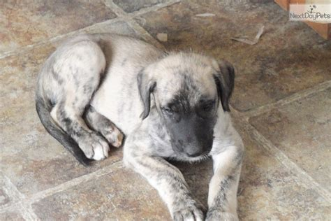 wolfhound puppies for sale near me wolfhound puppy for sale near northern michigan michigan c66075ba 36e1