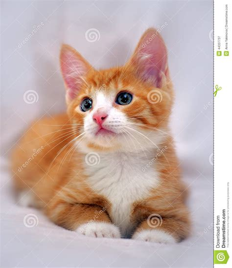 Cute Ginger Kitten With Blue Eyes Stock Photo   Image