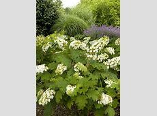 Growing Hydrangeas | The Garden Glove Oakleaf Hydrangea Snow Queen