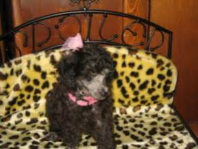 miniature poodle rescue indiana miniature poodle indiana dogs our friends photo