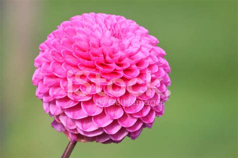 fiore a palla fiore di dalia pompon rosa dalie a palla fiorisce in