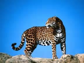 Austral Jaguar Fauna De Mi Argentina Jaguar