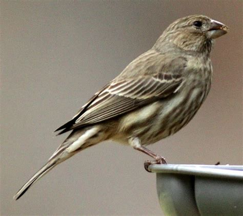 female house finch female house finch 5th day birds of the air pinterest