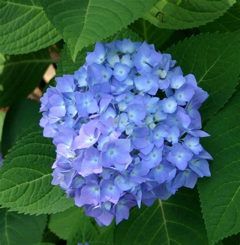 photos of nature photos of hydrangea flowers