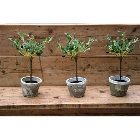 giardino in vaso coltivare ulivo in vaso piante in giardino consigli