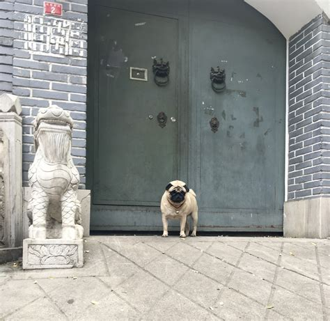 pug of the day picture of the day hutong pug supchina
