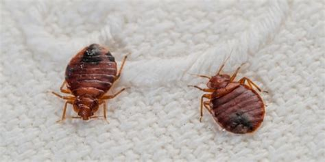 what kills bed bugs fast how to kill bed bugs what kills bed bugs fast