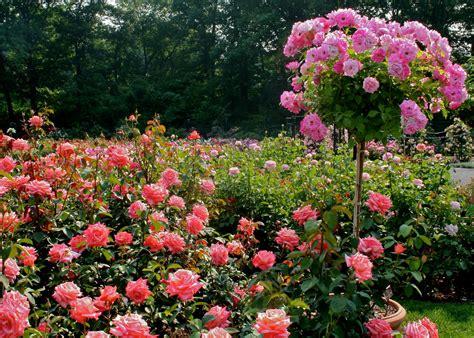 Standar Bunga Mawar mengenal jenis jenis mawar di san jose heritage