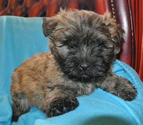 akc cairn terrier puppies for sale cairn terrier puppy for sale breeds picture