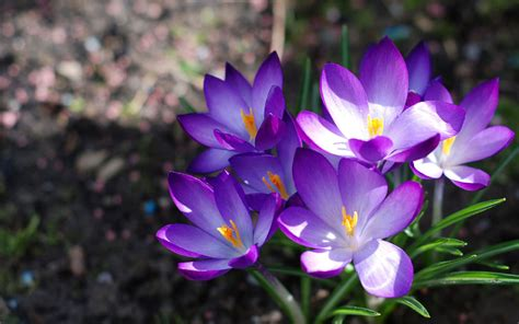 wallpapers purple crocus flowers wallpapers