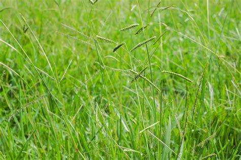 kill dallisgrass   steps  hiring