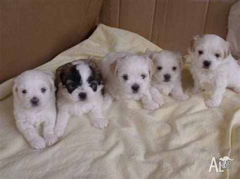 shih tzu x maltese puppies for sale nsw for sale shihtzu x maltese breeds picture