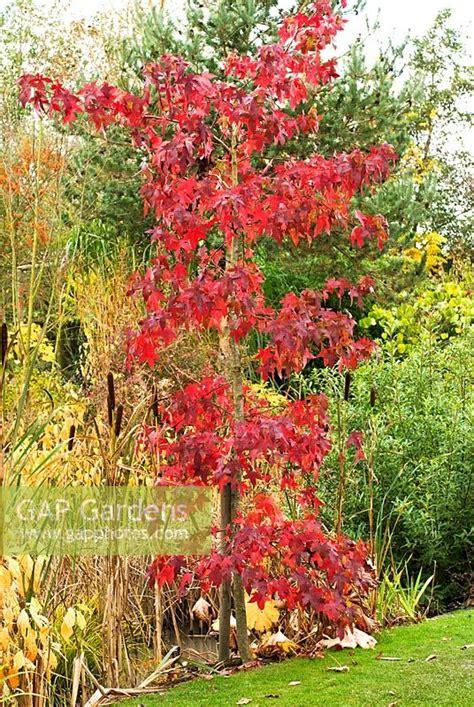 gap gardens autumn foliage on young liquidambar
