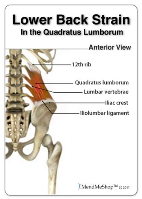 lower back muscles diagram 17 best images about back strain exercises on