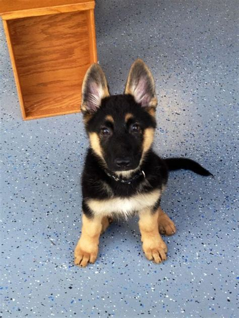 Why Do German Shepherds Shed So Much by Best 25 Haired German Shepherd Ideas On