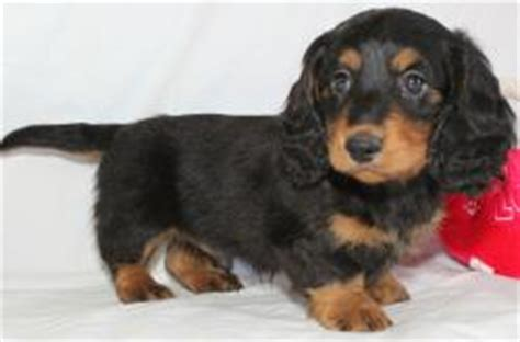 puppies for sale greensboro nc dachshund puppies for sale nc photo
