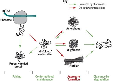 protein folding in vivo aspects of protein folding and quality