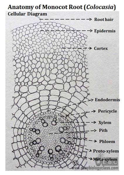 root cross section diagram monocot root cross section structure with ppt
