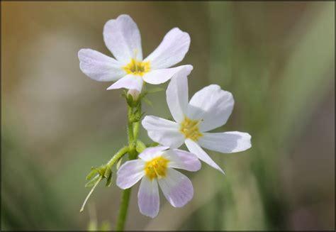 water violet fiore di bach water violet il fiore di bach per chi ama la solitudine