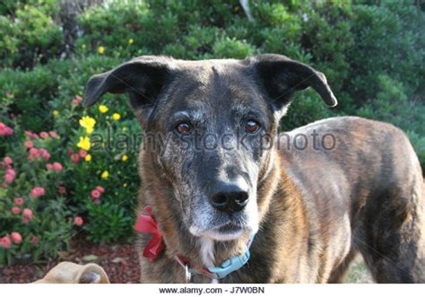 brindle colored dogs brindle stock photos brindle stock images alamy