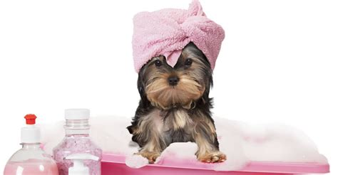 dog groomers come to your house dog grooming in thousand oaks