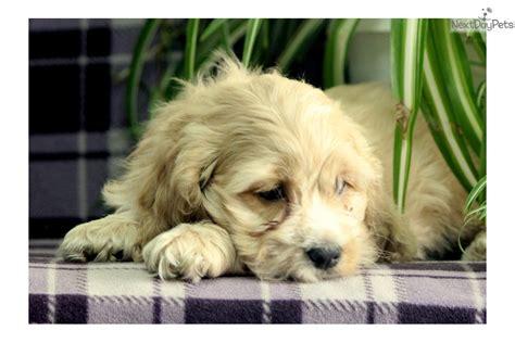 cockapoo puppies near me cockapoo puppy for sale near lancaster pennsylvania 41edb5ad 8361