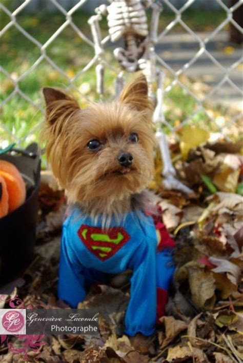 yorkie superman costume 37 best images about my yorkies on costumes yorkie and coats