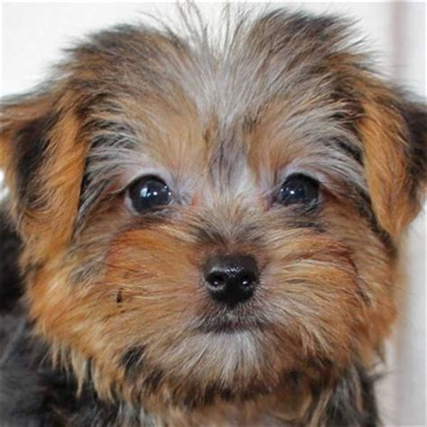 teacup yorkie rescue las vegas yorkie poo puppy for sale at heavenly puppies breeds picture