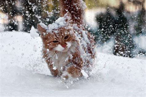 gatto delle nevi in the panchine gatto delle nevi juzaphoto