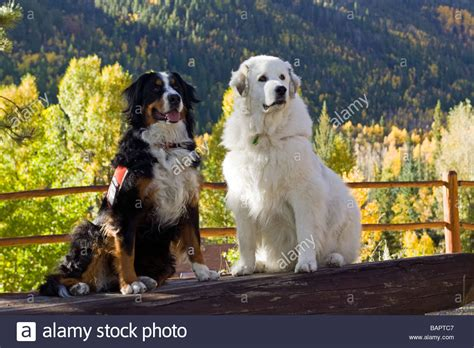 great bernese mountain great pyrenees lab mix breeds picture