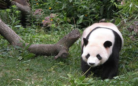 imagenes de animales naturaleza naturaleza panda animales fondos 222705