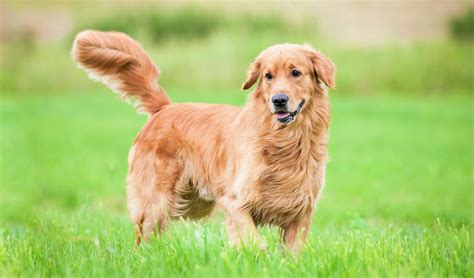 golden retriever forums golden retriever forum ear infection dogs in our photo