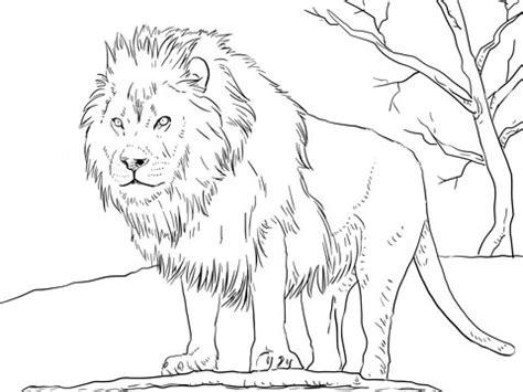 coloring pages animals realistic lion dibujo de le 243 n africano macho para colorear dibujos para